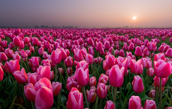 Picture field, sunset, tulips, Netherlands, buds, a lot