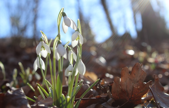 Picture forest, flower, the sun, macro, flowers, glare, spring, snowdrops, primroses, the smell, flowers, aroma, macro, …