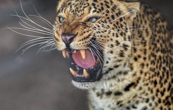 Picture face, portrait, predator, leopard, fangs, grin, wild cat