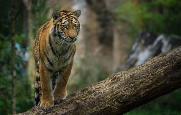 Photo wallpaper tiger, predator, posing, log, cub, wild cat, young