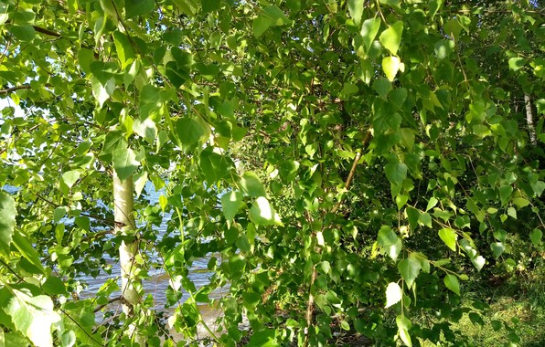 Picture summer, leaves, water, the sun, rays, trees, river, tree, foliage, birch, trees