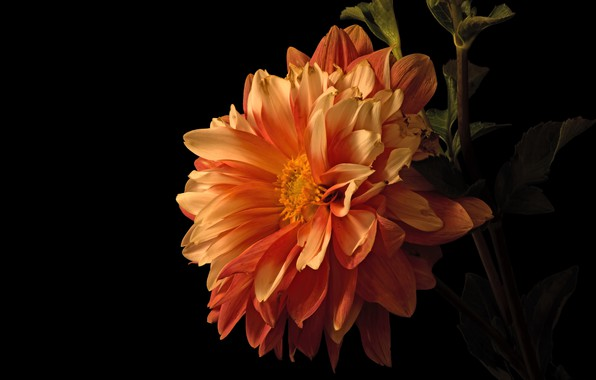Picture flower, leaves, macro, flowers, orange, petals, stem, black background, Dahlia