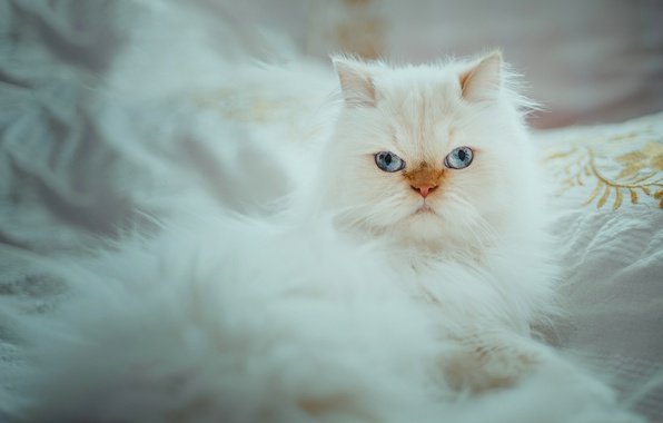 Picture cat, look, portrait, white, blue eyes, fluffy, Himalayan cat