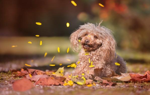 Picture autumn, leaves, dog, petals, bokeh, Poodle