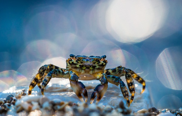 Picture macro, glare, crab, bokeh