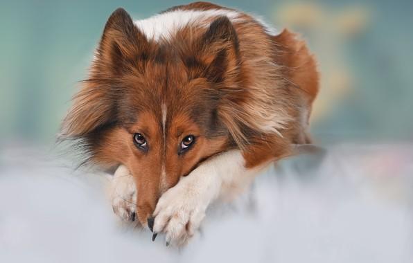 Picture look, face, background, dog, paws, Sheltie, Shetland Sheepdog