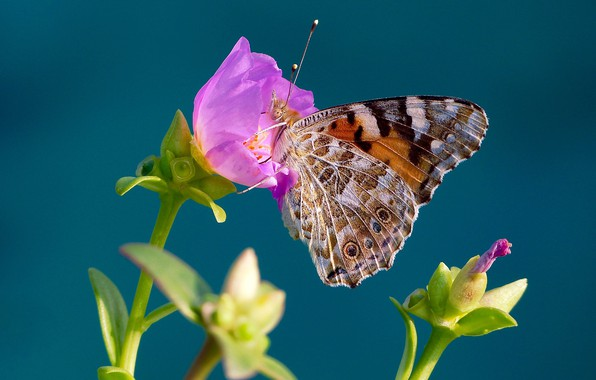 Picture flower, macro, background, butterfly, The painted lady