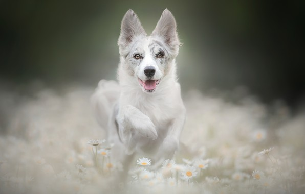 Picture face, flowers, paw, chamomile, dog, puppy, bokeh