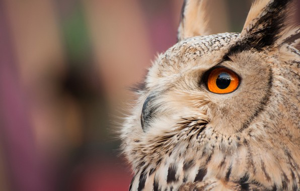 Picture background, owl, bird, Owl