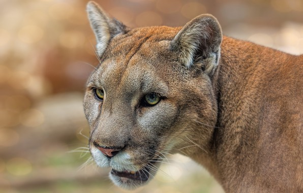 Picture eyes, look, face, cats, close-up, background, portrait, wild cats, Puma, wildlife, bokeh, Cougar