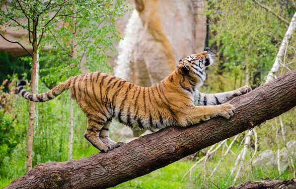 Picture pose, predator, wild cat, zoo, the Amur tiger, stretching, warm-up