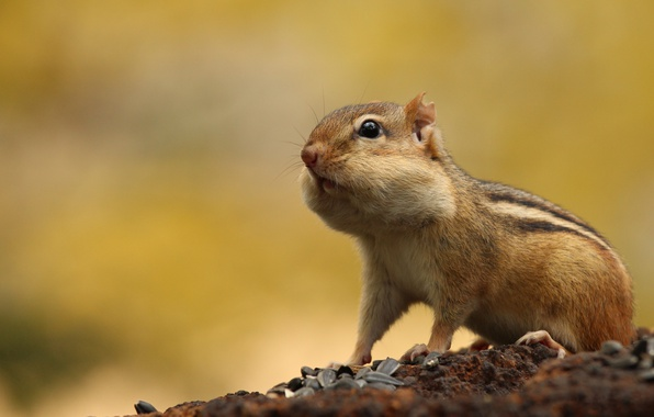 Picture animals, Chipmunk, seeds, wildlife, cheeks, rodents, supplies