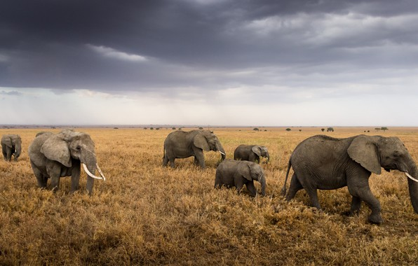 Picture Africa, elephants, the herd, Tanzania, Serengeti National Park