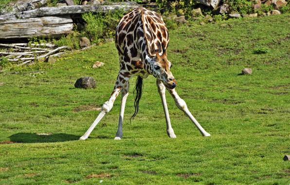 Picture nature, animal, giraffe, color, neck
