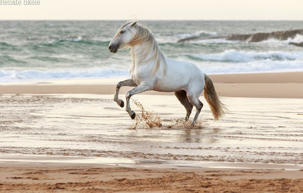 Picture sand, wave, water, squirt, grey, horse, the wind, shore, coast, horse, stallion, surf, grace