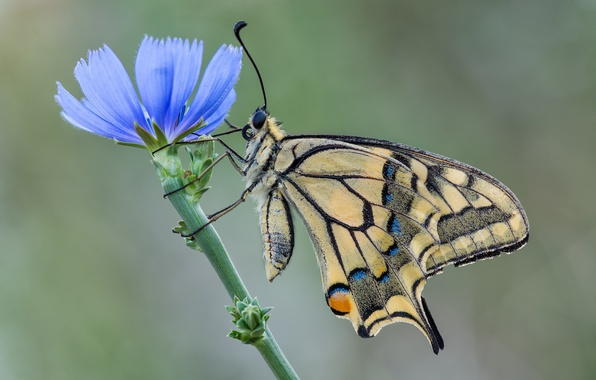 Picture flower, butterfly, swallowtail, chicory