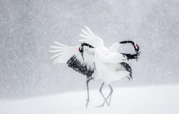 Picture winter, snow, birds, dance, Japan, cranes