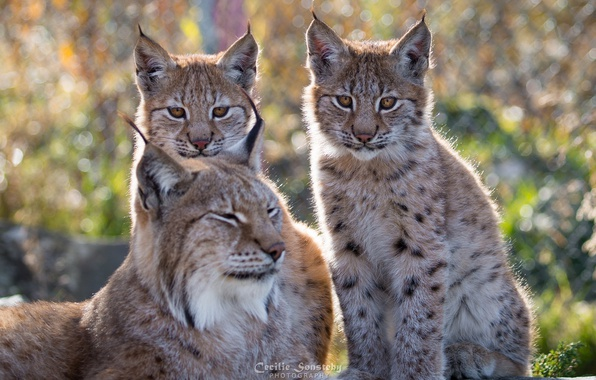 Picture nature, stay, family, color, lynx
