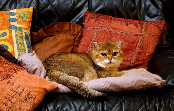 Picture cat, pillow, handsome