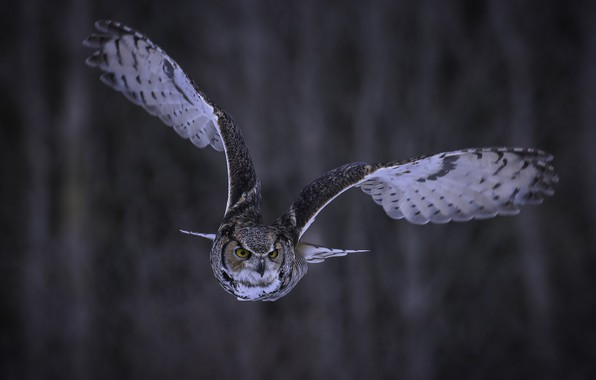 Picture look, flight, background, owl