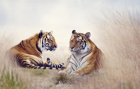 Picture animals, nature, tiger, pair, tigers
