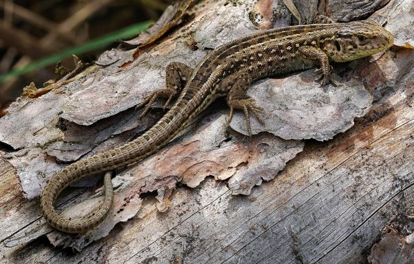 Picture lizard, sand lizard, lacerta agilis