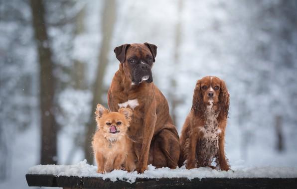 Wallpaper dogs snow portrait trio friends chihuahua - Free cocker spaniel screensavers ...