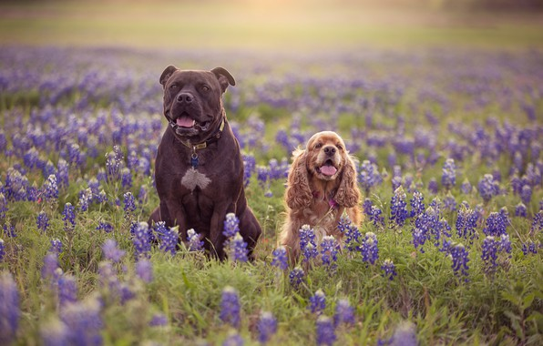 Picture dogs, flowers, meadow, pair, two dogs, lupins