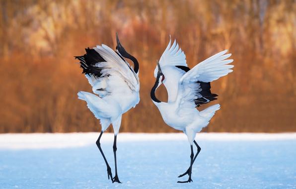 Photo wallpaper background, snow, dance, cranes, pair