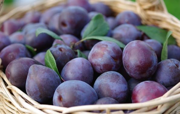 Picture nature, garden, harvest, fruit, plum, September, cottage