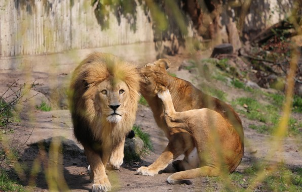 Picture Look, Wild cats, Lion and Lioness
