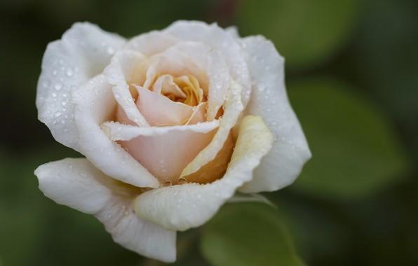 Picture drops, macro, Rosa, rose, Bud