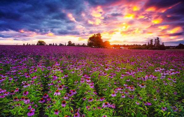 Picture field, sunset, Echinacea