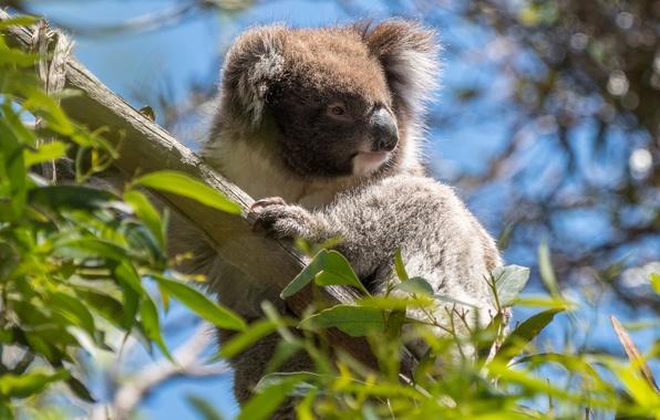 Picture animals, leaves, branches, tree, Australia, wildlife, Koala, eucalyptus, marsupials