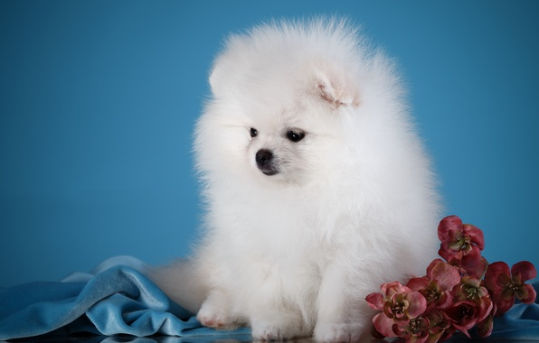 Picture flowers, fluffy, puppy, breed, Spitz