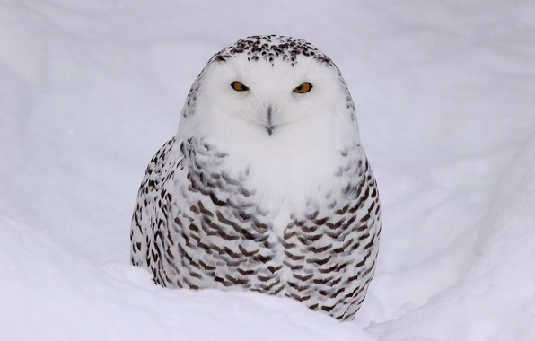 Picture color, black and white, tail, snowy owl, bird of prey