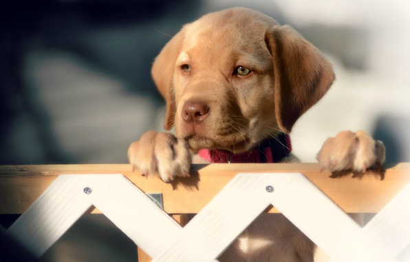Picture look, the fence, dog, muzzle, puppy, Labrador Retriever