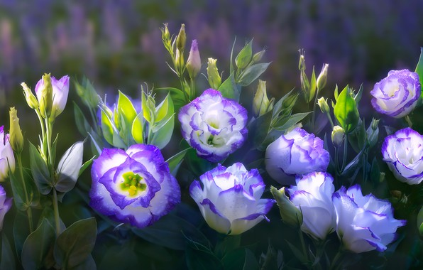 Picture purple, leaves, flowers, nature, green, background, treatment, art, buds, composition, eustoma, eustoma