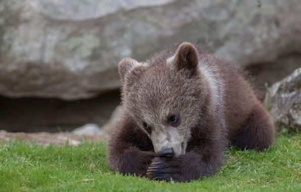 Picture bear, bear, cub