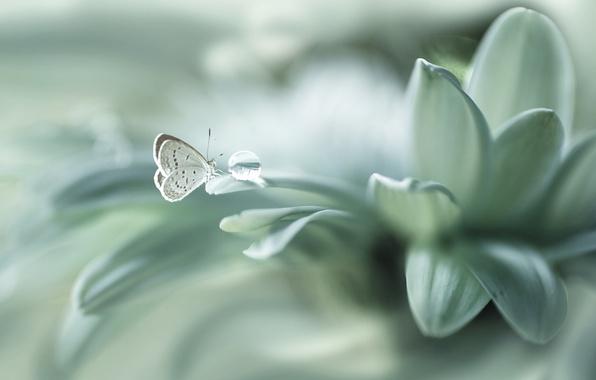 Picture flower, butterfly, drop, petals, bokeh