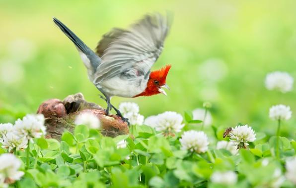 Picture flight, flowers, bird, socket, clover, Krasnogora cardinaleway oatmeal