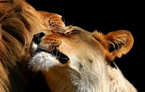 Picture Leo, pair, lioness