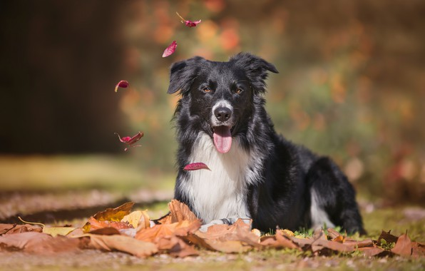 Picture autumn, language, look, leaves, dog, bokeh, The border collie