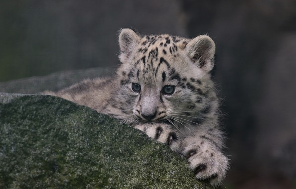 Picture stone, IRBIS, snow leopard, cub, kitty, snow leopard