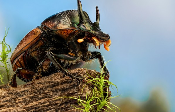 Picture macro, beetle, insect, Scarab