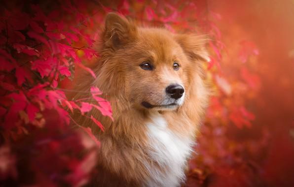 Picture autumn, leaves, branches, nature, animal, dog, dog, Birgit Chytracek, eurasier, the eurasier