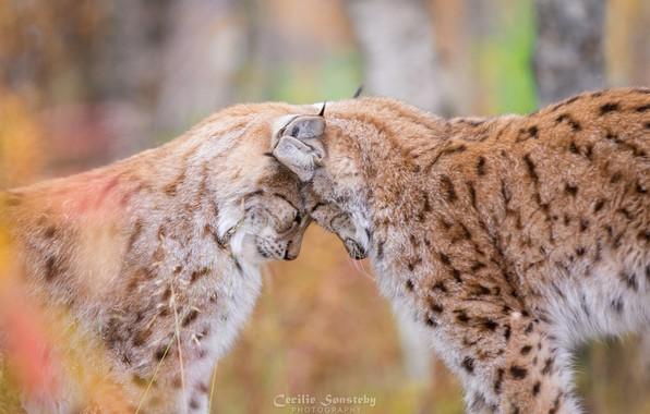 Picture love, predators, weasel, wild cats, a couple, lynx