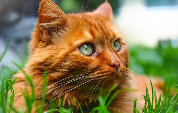 Picture cat, grass, look, portrait, muzzle, red cat, cat