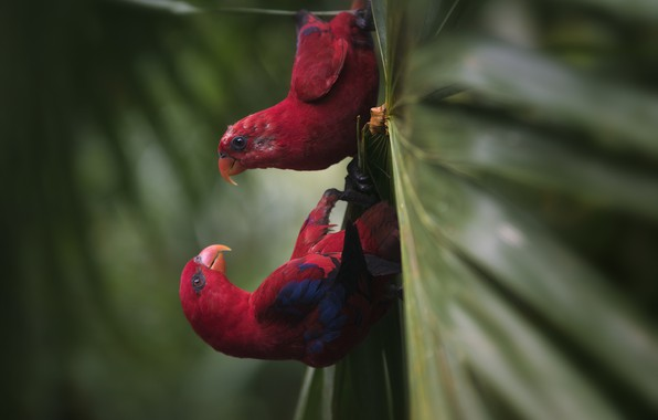 Picture red, sheet, parrots