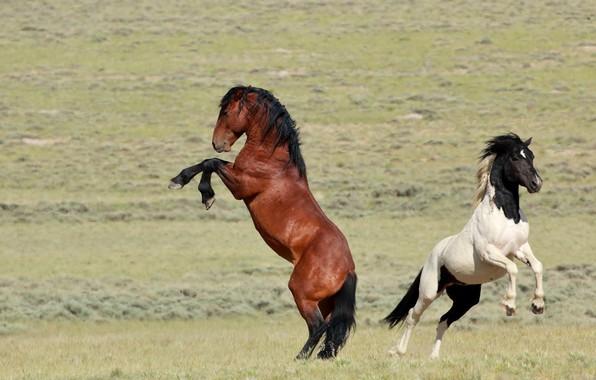 Picture horses, power, horse, pair, grace, wild, chestnut, piebald